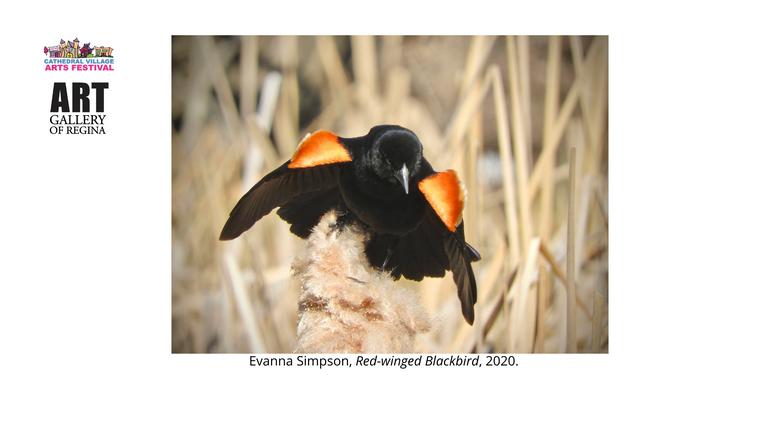 Evanna Simpson,Red-winged Blackbird, 2020.
