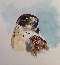 peregrine-falcon