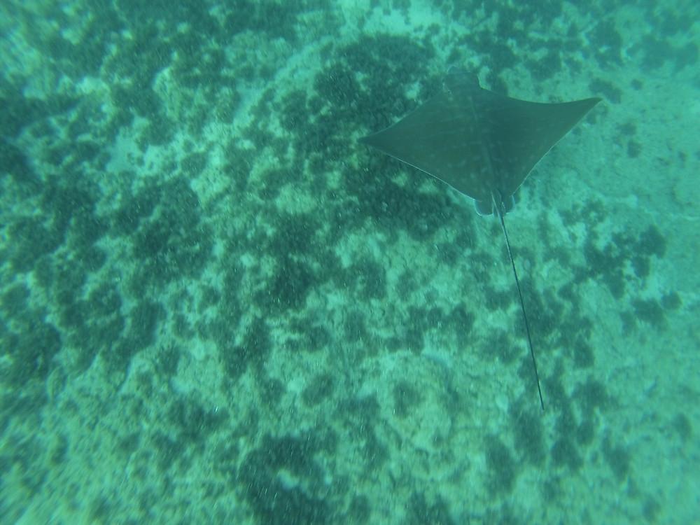 טחן פר | עטלף-ים