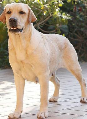 Labradora amarela Emma5.jpg
