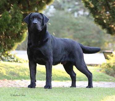 Labrador Macho Preto Jack.jpg