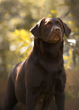 Labradora retriever