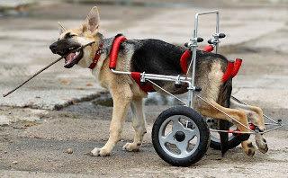 Cão com displasia