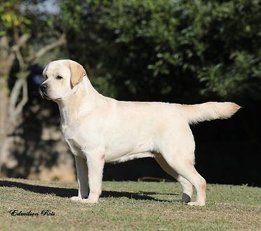 Labrador Retriever amarelo macho