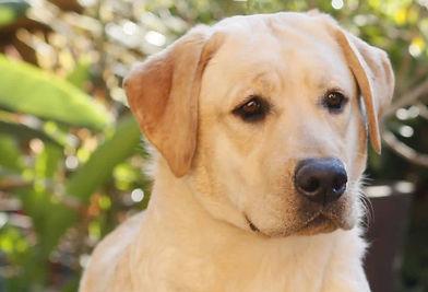 Labradora retrievier