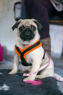 Puppy Triaining, Dog Training, Pug