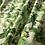 Thumbnail: Cotone nature