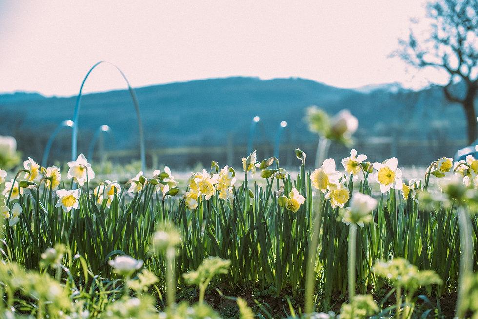 Wildling_Blumen_Blumenversand_narzissen
