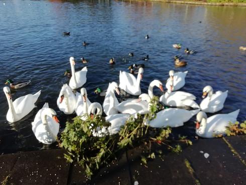 Swans on Herges Loch