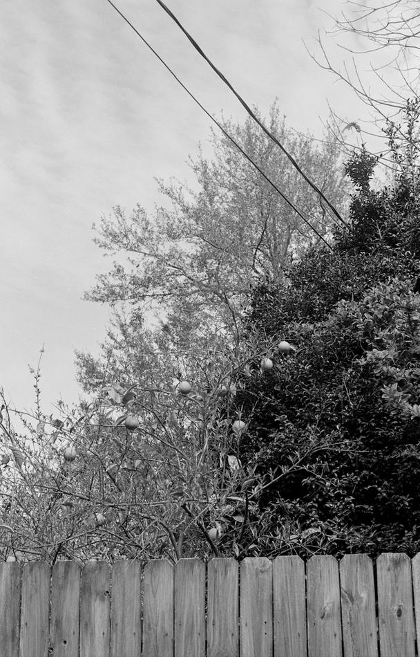 Orang Tree