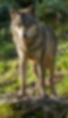 Loup-gris-ABPhotography_edited.jpg