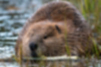 beaver-1576634909fd5.jpg