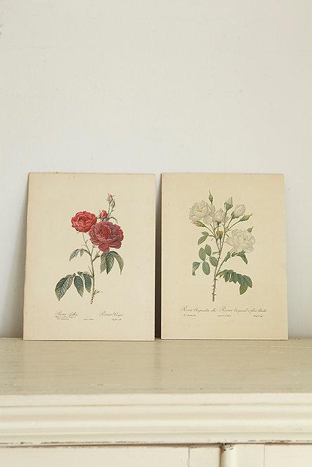 OK5174 - Redouté Roses