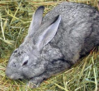 Coniglio Riproduttore