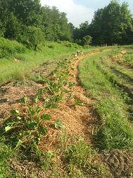 Bancali orto sinergico con zucchine