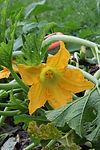 Zucchine in fiore nell'orto sinergic