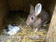 Conigli per allevamento o per carne