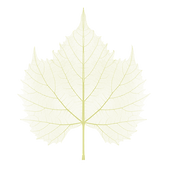 xray-maple-yellow.png
