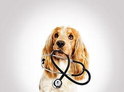 portrait vet dog spaniel on a gray backg