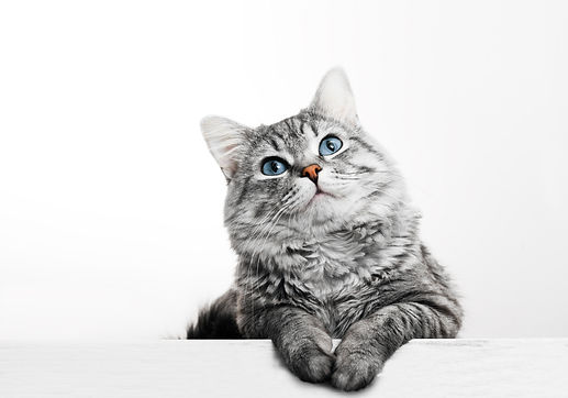 Close up view of Gray tabby cute kitten