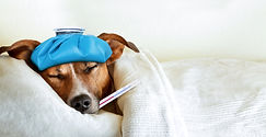jack russell dog sleeping in bed with hi