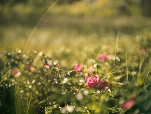Wild Roses in Summer Haze