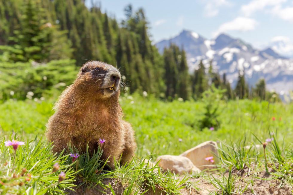 Mount Rainier Marmot