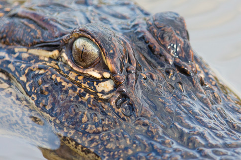 The Eye of the Alligator