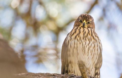 Cooper's Hawk in Cook's Meadow
