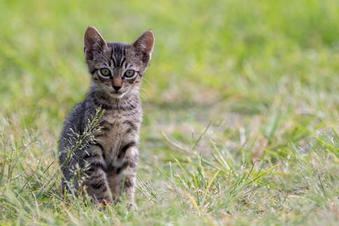 Wild Hawaiian Kitten