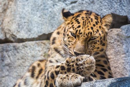 Leopard Eye Contact