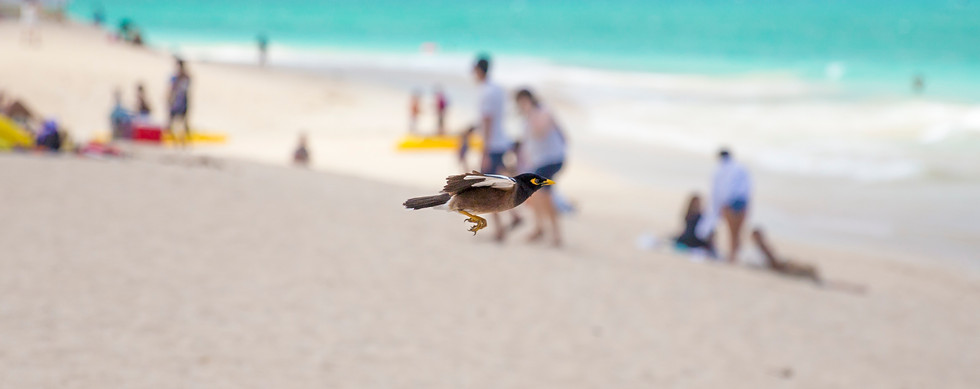 Common Myna fighting the wind