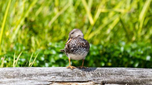 Sitting Pretty Duck