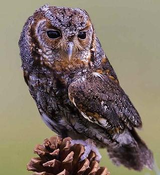 Flammulated-Owl.jpg