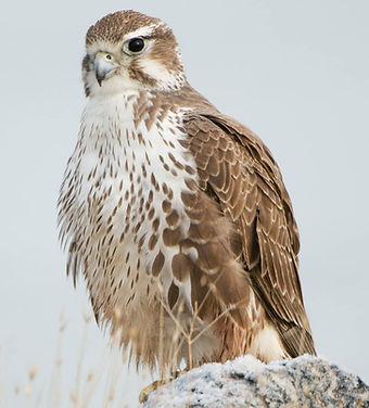 Prairie-Falcon.jpg
