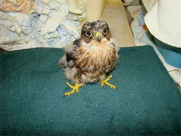 Orphaned-hawk-chick.jpg