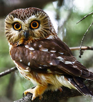 Northern-Saw-whet-Owl-1024x912.jpg