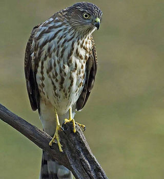 Sharp-shinned-Hawk.jpg