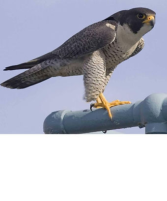Peregrine-Falcon.jpg