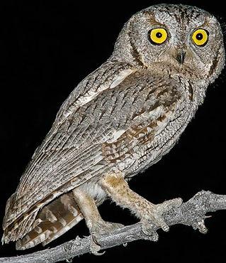 Western-Screech-Owl-1024x983_edited.jpg