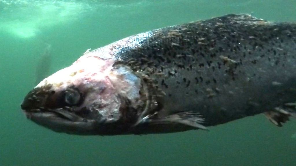 Lice-infested farmed salmon