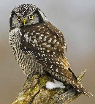 Northern-Hawk-Owl (1).jpg
