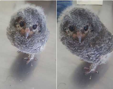 3 week old owl.JPG