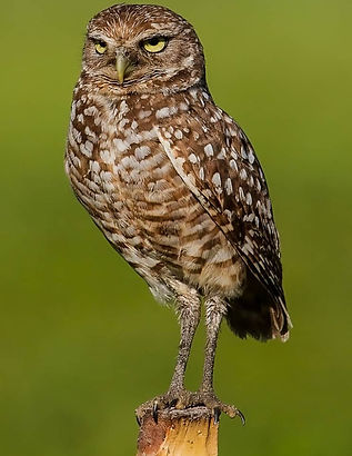 Burrowing-Owl-742x1024.jpg
