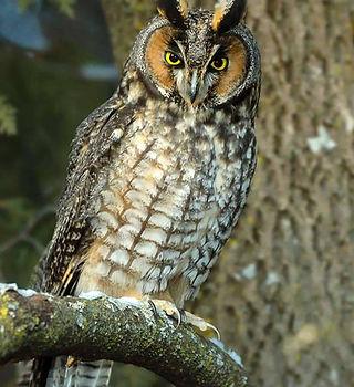 Long-eared-Owl.jpg