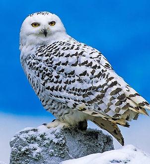 Snowy-Owl-1024x815.jpg