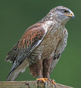 Ferruginous-Hawk.jpg
