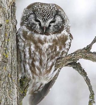 Boreal-Owl.jpg