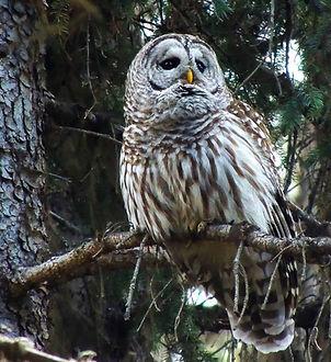 Barred-Owl-905x1024.jpg