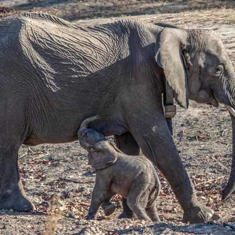 In September 2019, Chamilandu made history by becoming the first orphan elephant to deliver a wild born baby in Zambia!